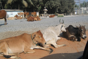 cows on streetside