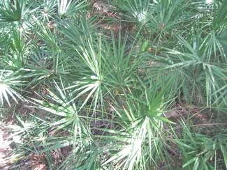 Saw palmettos is a part of the vegetation found in the Florida Everglades. It is said to have many medicinal benefits.
