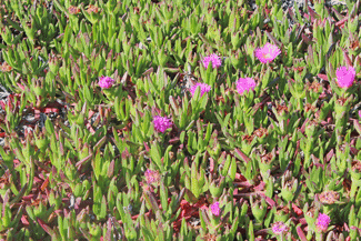 wildflowers, succulents on beachf withe pretty pink flowers